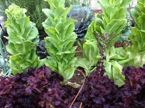 Bolted Lettuce_Cornell Univ..jpg