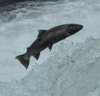 200324-nrr-wildart-salmon-jm