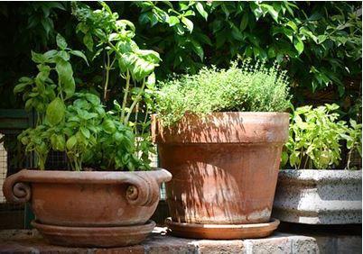 Ask a Master Gardener: e up the garden by growing herbs | Home ...