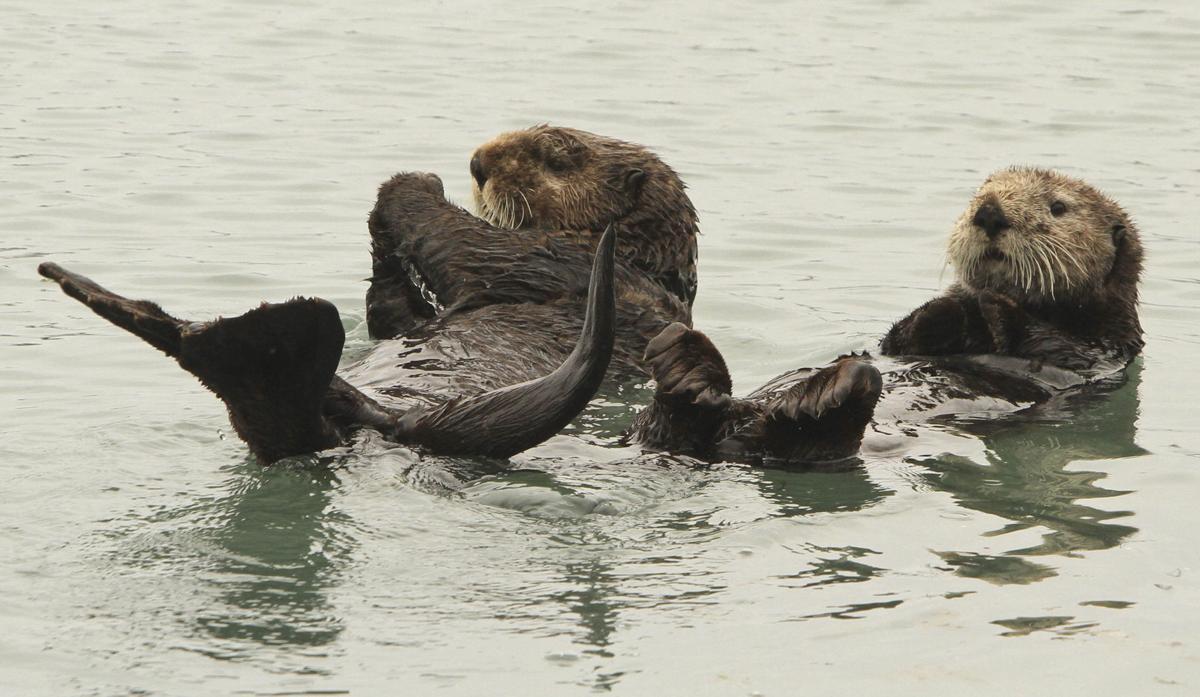 Sea Otters Alaska Seafood