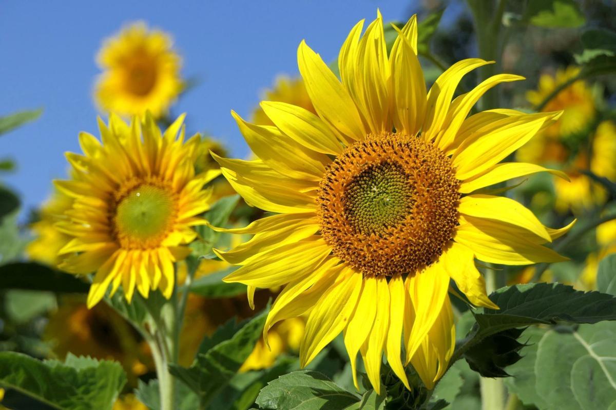 sunflower_Pixabay.jpg