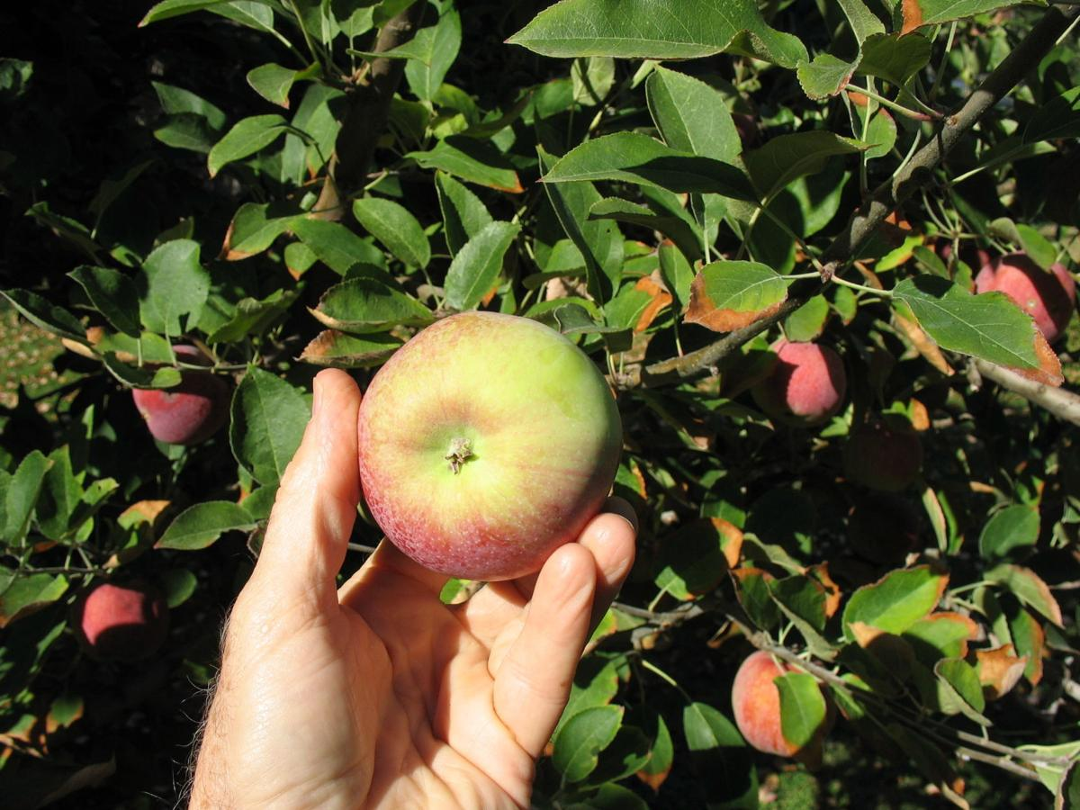 apple maturity, look at the color of the bottom.JPG