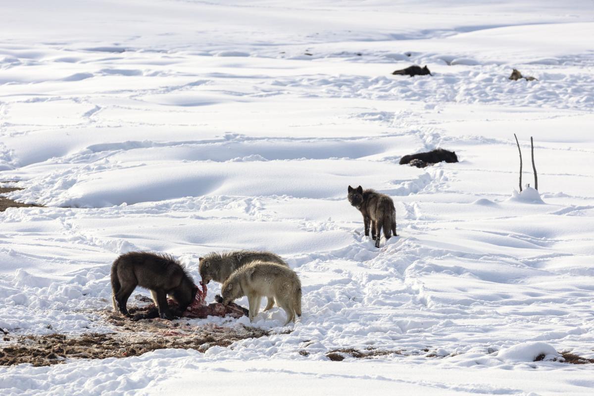 Western Gray Wolf 25 Years