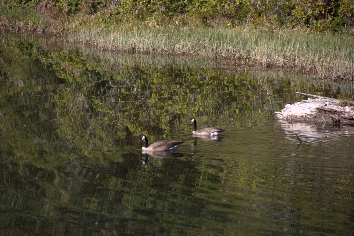 geese and log.jpg