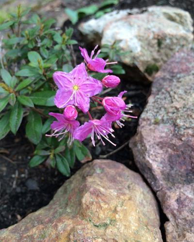 Kalmiopsis fragrans from the North Umpqua