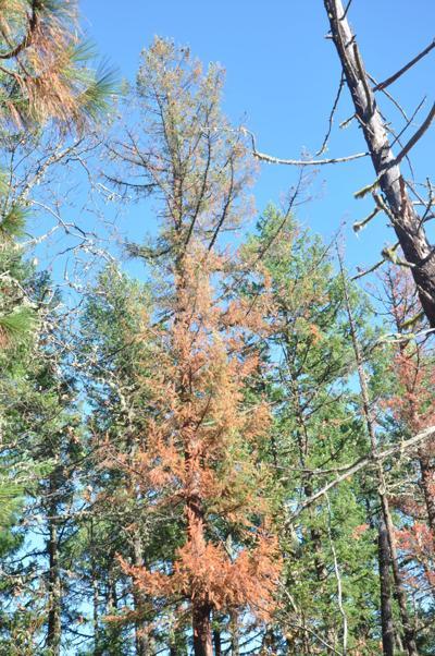 Tree die-off
