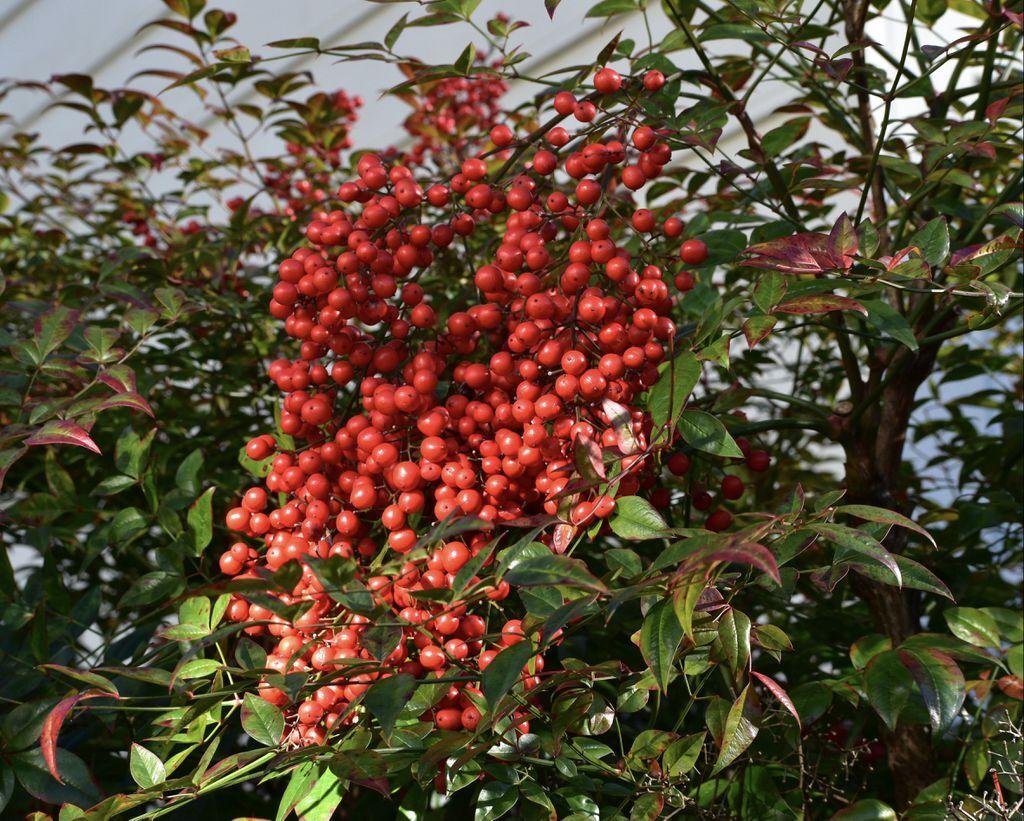 berries_NCExt.jpg