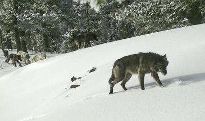 Endangered Wolves Illegal Killings