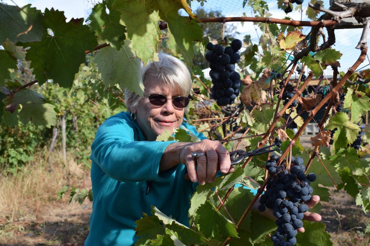 Wine harvest 1