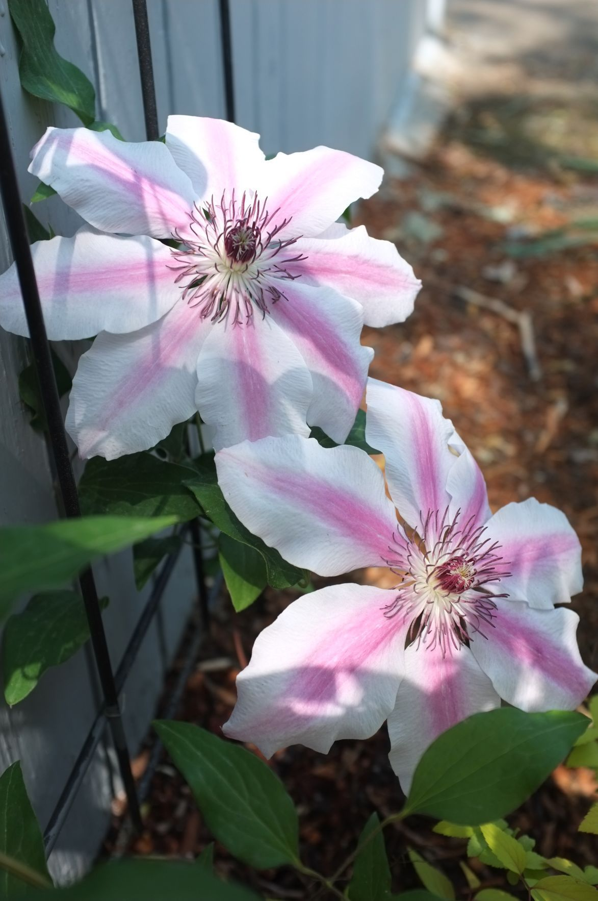 Ask A Master Gardener Clematis Pruning And Recycling Used Coffee
