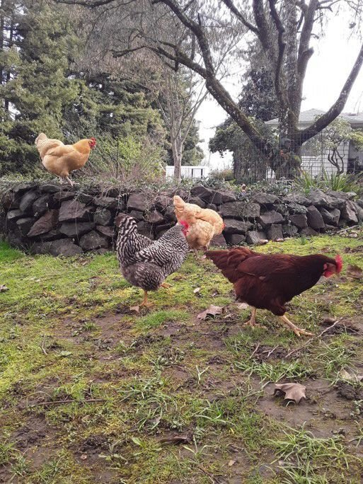 ashley hicks chickens 1
