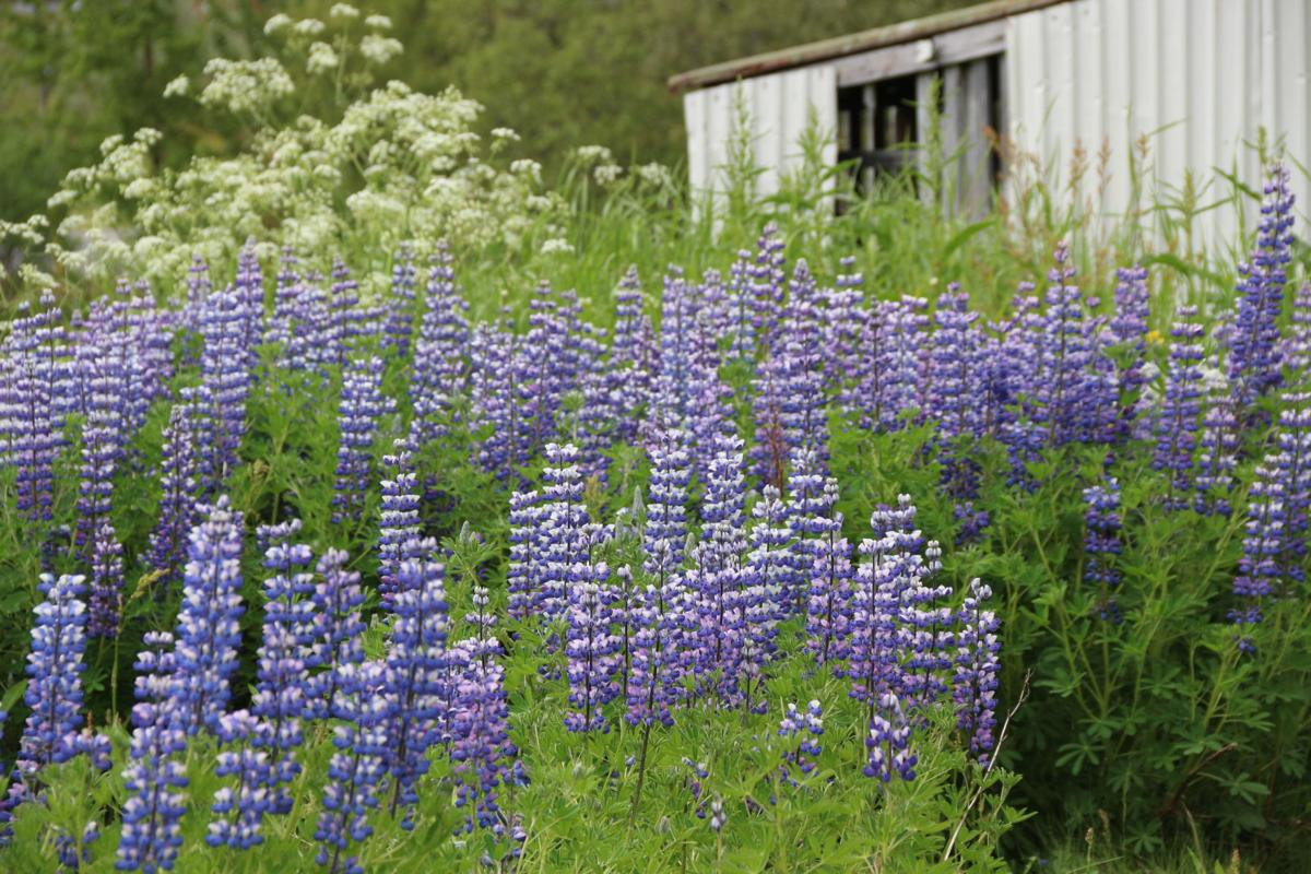 Lupine by building.JPG