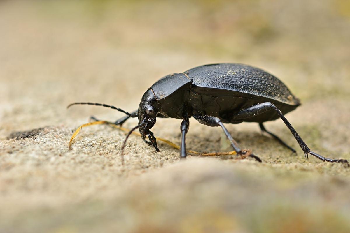 ground_beetle_Pixabay.jpeg