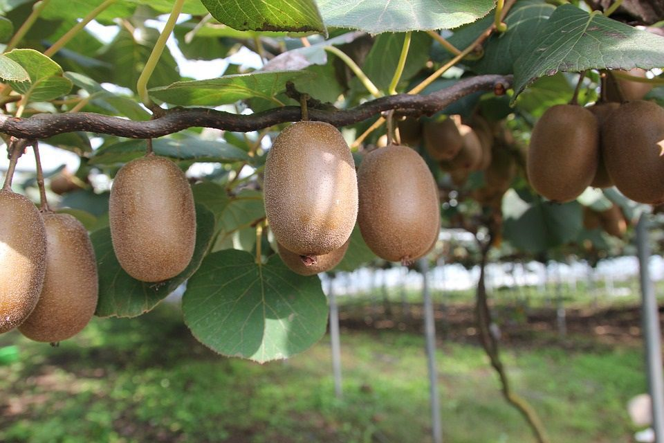 Fuzzy Kiwifruit