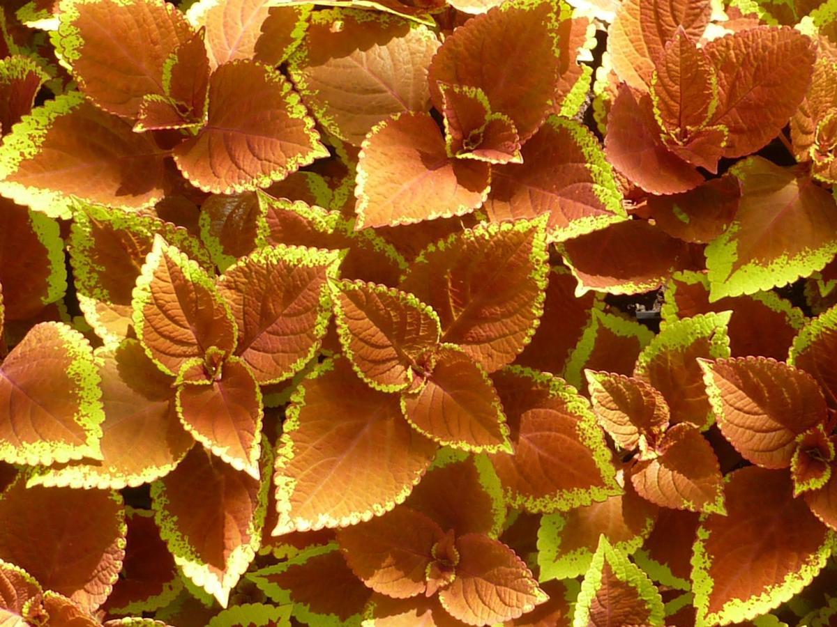 Fall-colored coleus_Pixabay.jpg