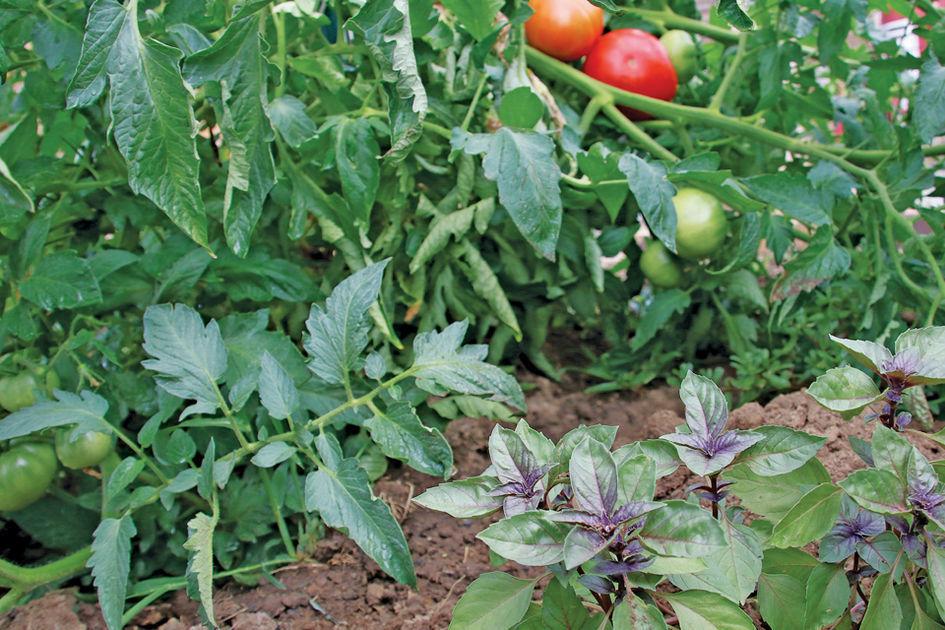 tomatoes_basil_WVirginiaUnivExt.jpg