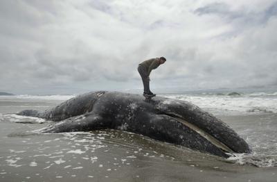 Gray Whale Strandings