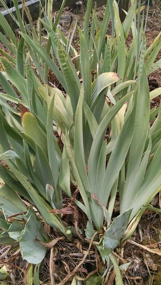 Overgrown Iris