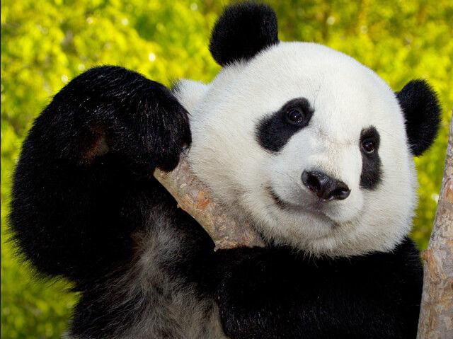 Giant Panda at San Diego Zoo