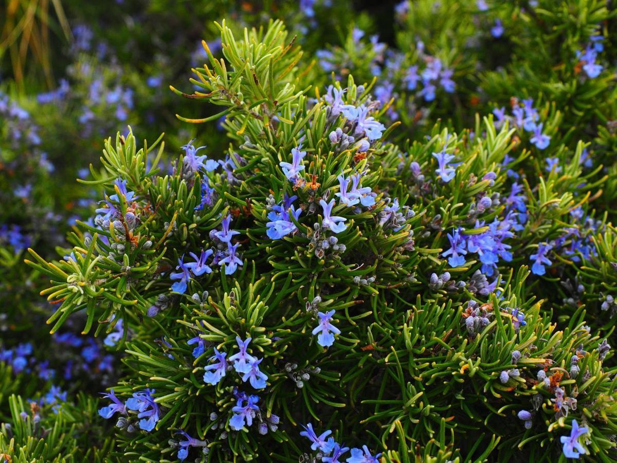 rosemary-blossoms_Pixabay.jpg
