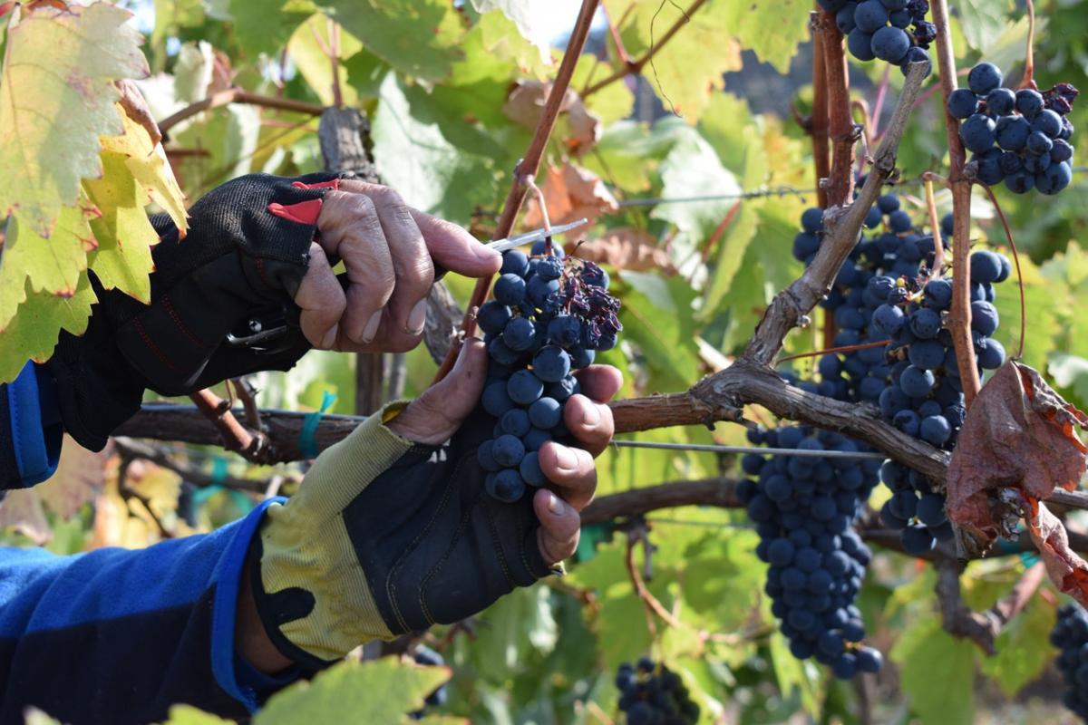 Wine harvest 2