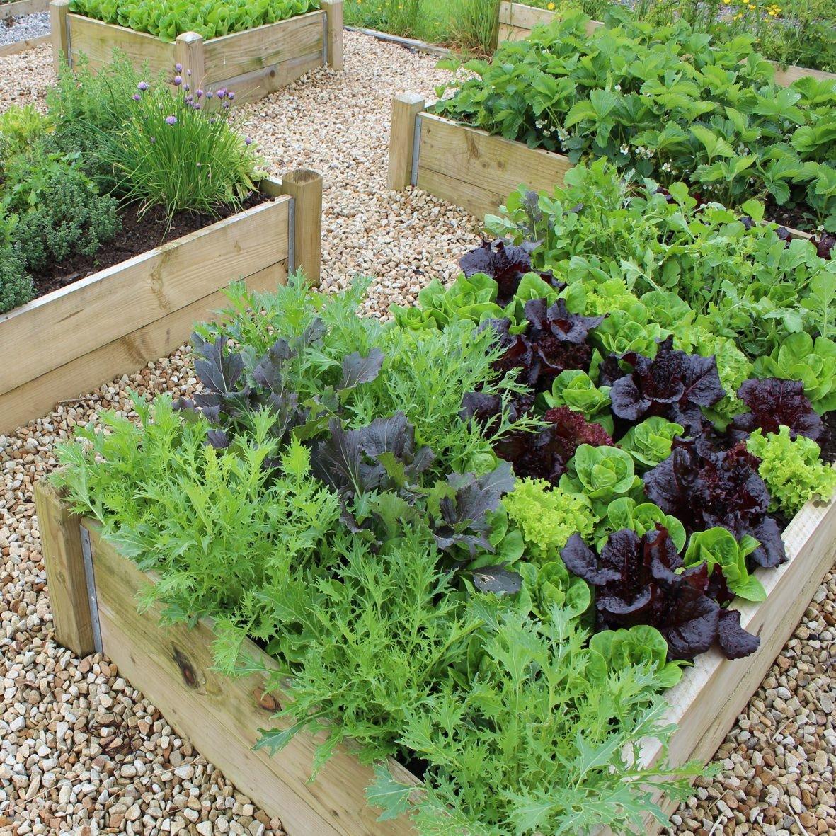 lettuce in a raised bed.ChrisRusch.jpg