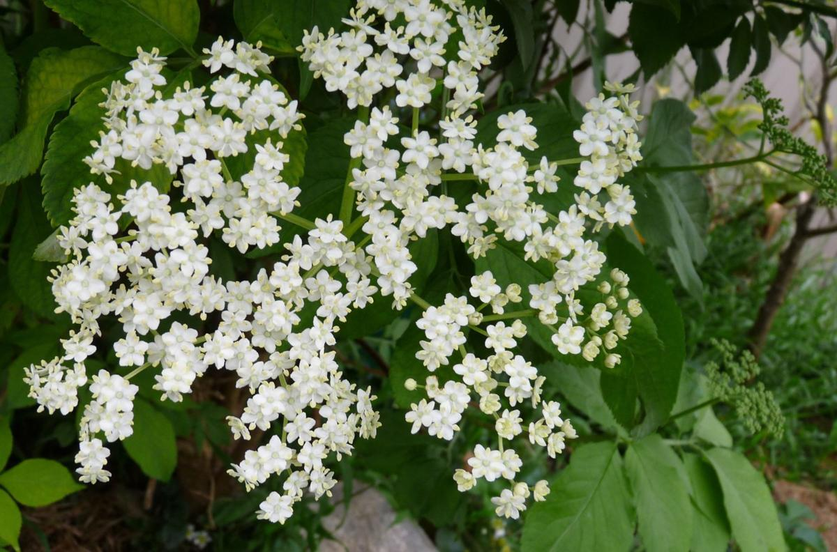 elderberry flower_Pixabay.jpg