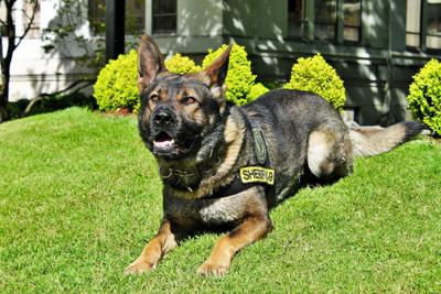 DCSO search dog Grimm