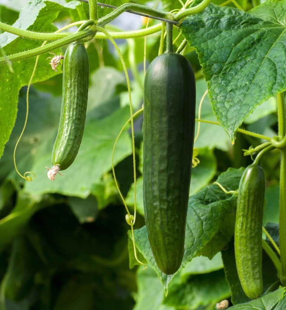 cucumber-pickle.jpg