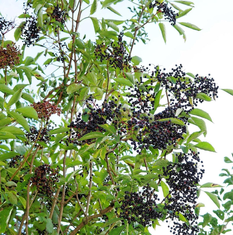 elderberries_Pixabay.jpg