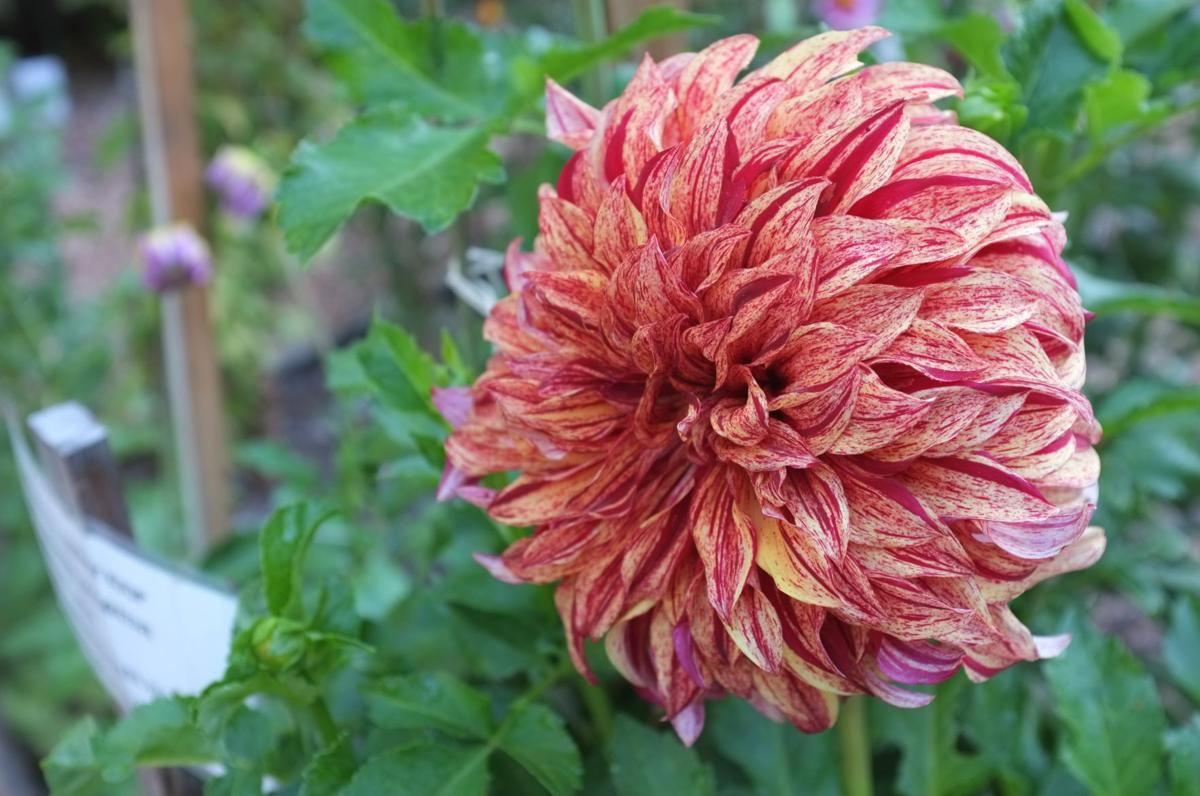 Ask a master gardener decorative dahlias home and garden vibrant dahlia izmirmasajfo