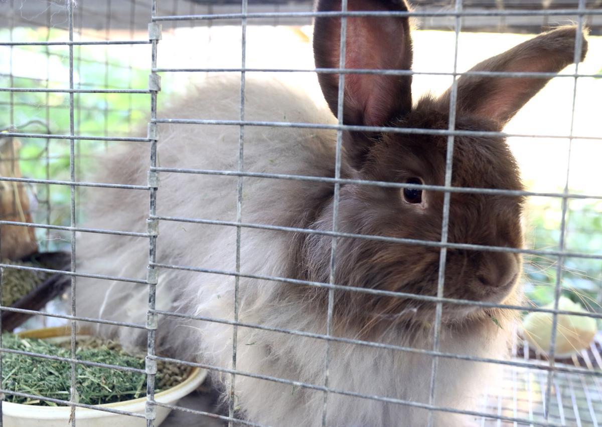 160819-nrr-rabbitdisease-01