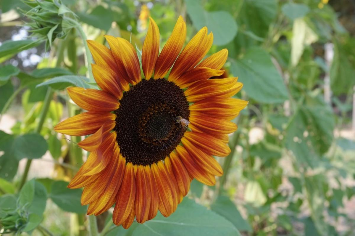 Bee-on-flower_BCourter.jpeg