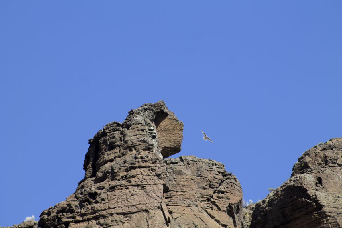 Fort Rock falcon