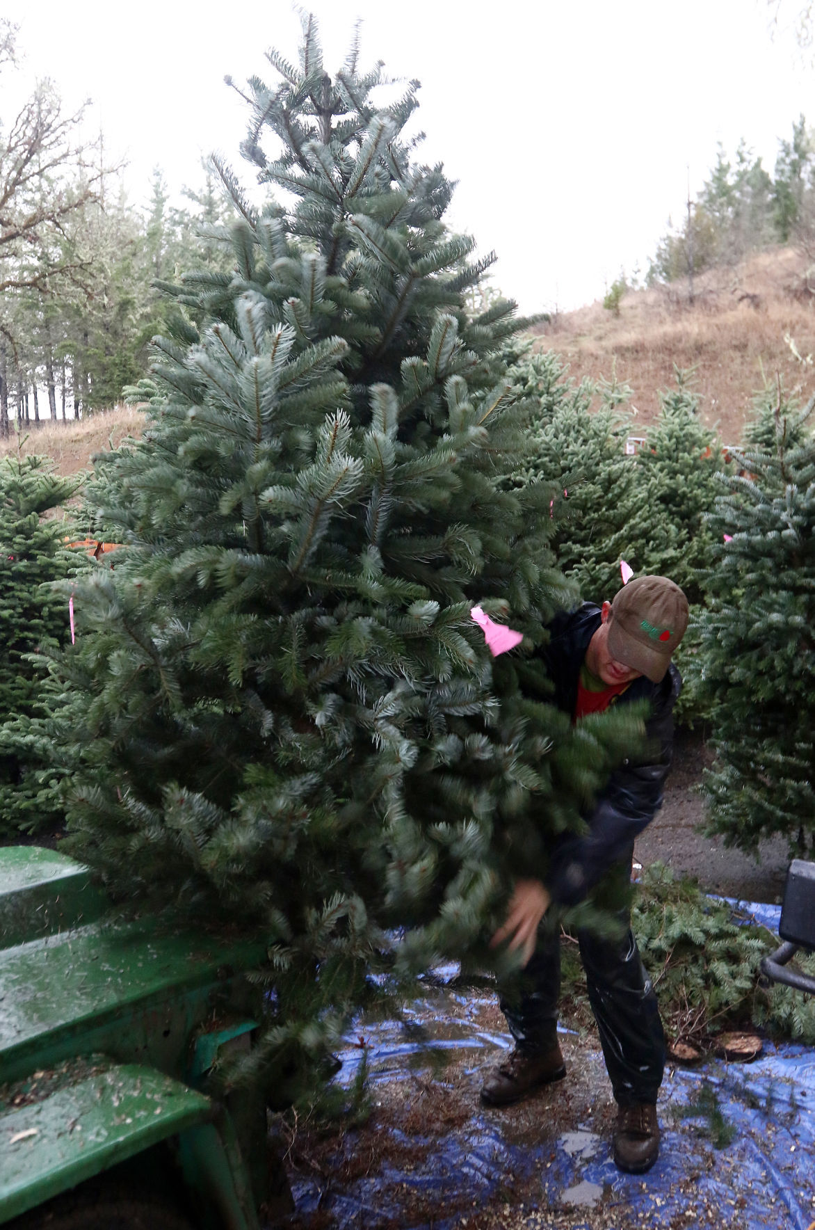 Christmas tree farmers say extra week needed for nicer trees ...