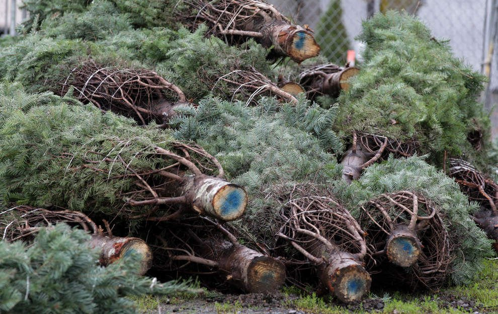 Christmas Tree Shopping Season Begins Prices Likely Higher This