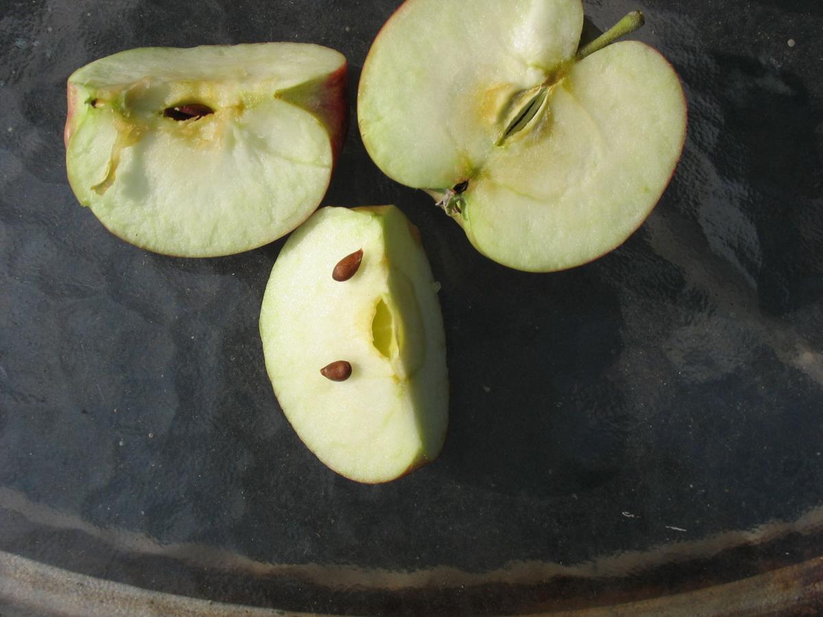Apple maturity, seed hardness.JPG