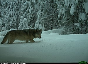 A group of grey wolves have returned to Douglas County