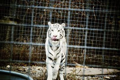 Slideshow: Exotic Feline Rescue Center