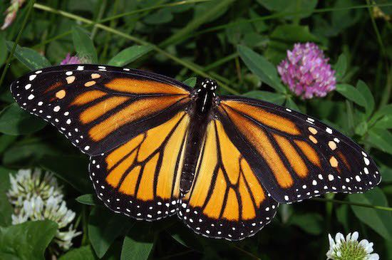 Save the Monarch Butterflies!
