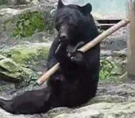 Video: The Chuck Norris of bears