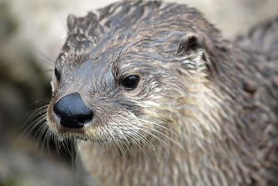 NRC approves river otter trapping season