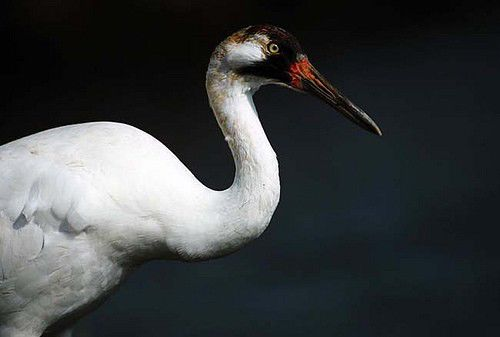 Reward offered in whooping crane killing case
