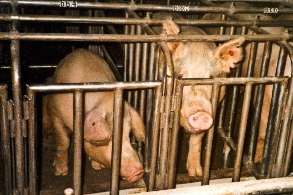 Reward Money to Speak Out Against Farm Animal Abuse