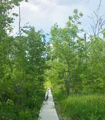Blue Herron at Beanblossom Nature Preserve