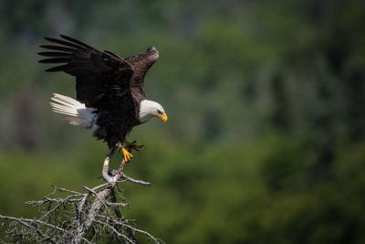 Celebrating the comeback of the bald eagle in Indiana