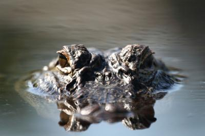 'See you later, alligator. After a while, crocodile'