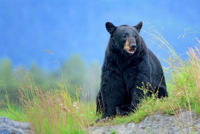 Letter from Michiana    Dead bear