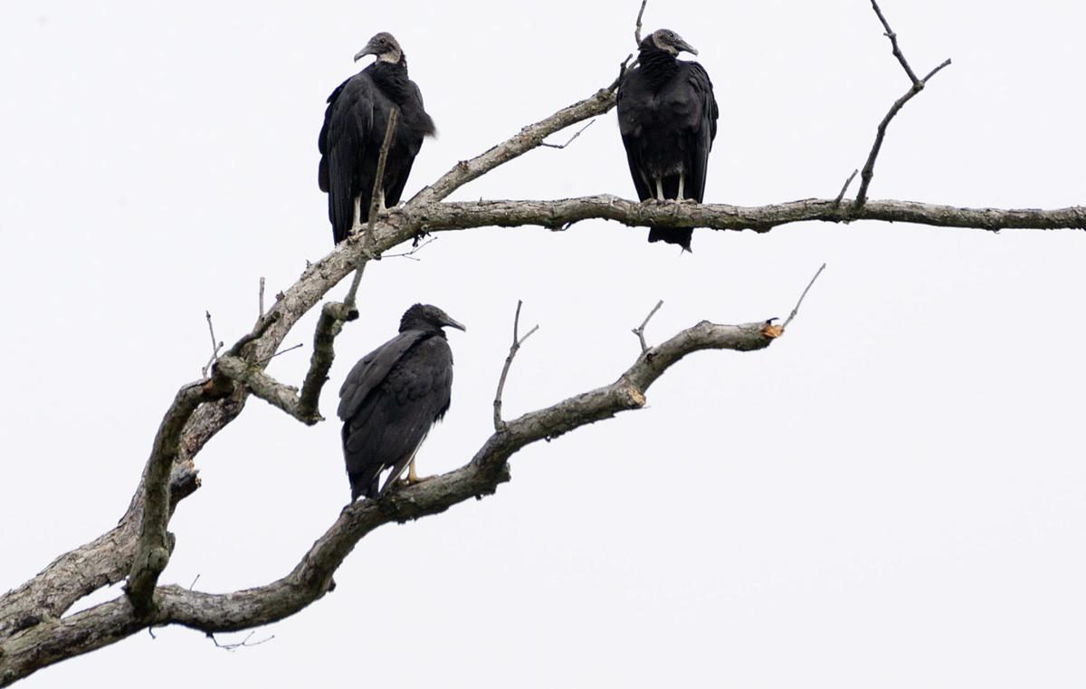 Vultures create flap in Woodstock
