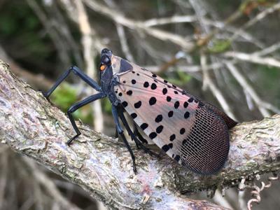 Spotted Lanternfly nvd